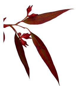 Eucaliptus robusta rojo - EUCROBROJ