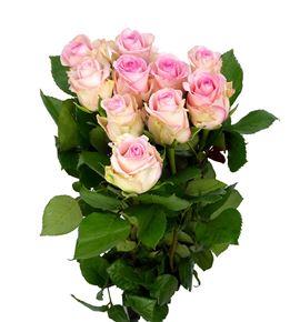 Rosa hol svetlana 50 - RGRSVE