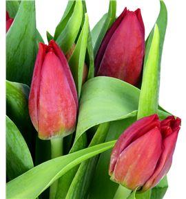 Tulipan seadov 35 - TULSEA