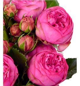 Rs ramificada pink piano freiland 40 - RTRPINPIAFRE