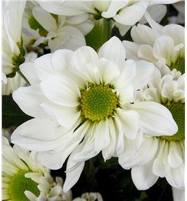 Marg col atlantic white - MCATLWHI