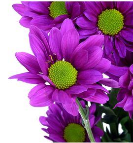 Marg col memphys purple - MCMEMPUR