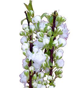 Prunus gland blanco 60 - PRUGLABLA