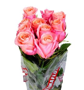 Rosa hol lady margaret 50 - RGRLADMAR