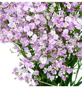Paniculata rosa - PANPIN