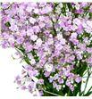 Paniculata rosa - PANPIN1