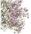 Paniculata rosa - PANPIN2