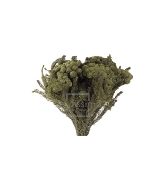 Brunia albiflora preservada bru/9103 - BRU9103-2-BRUNIA-ALBIFLORA