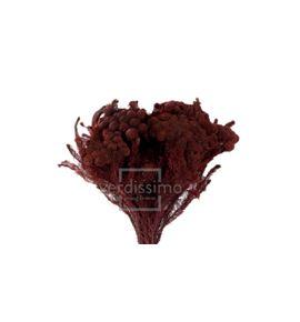 Brunia albiflora preservada bru/9713 - BRU9713-2-BRUNIA-ALBIFLORA