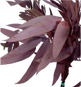 Eucaliptus preservado willow rojo - EUCPREWILROJ