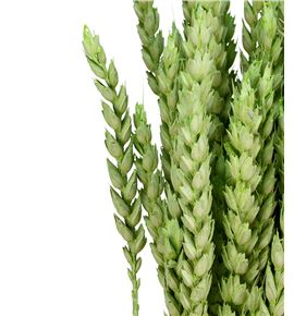 Trigo seco verde claro - TRISECVERCLA