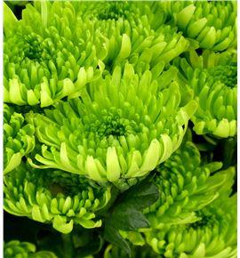 Marg col picara green - MCPICGRE