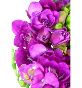 Fresia purple rain 50 - FREPURRAI