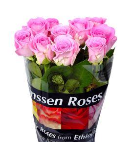 Rosa hol. aqua 55 - RGRAQU
