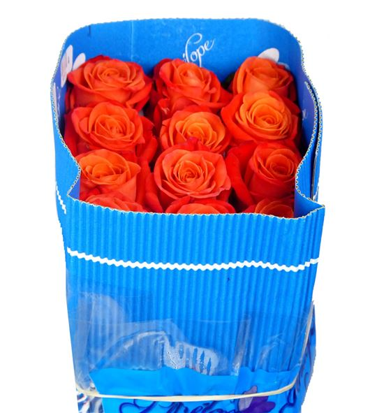 Rosa col orange crush 60 - RCORACRU