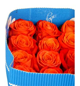 Rosa col orange crush 60 - RCORACRU