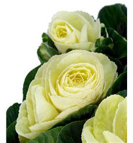 Brassica empire alexandra 60 x5 - BRAEMPALE