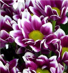 Marg col cibeles purple - MCCIBPUR