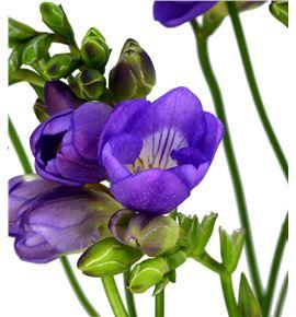 Fresia blue bayou 50 - FREBLUBAY