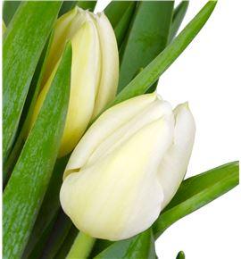 Tulipan nac orleans - TULORL