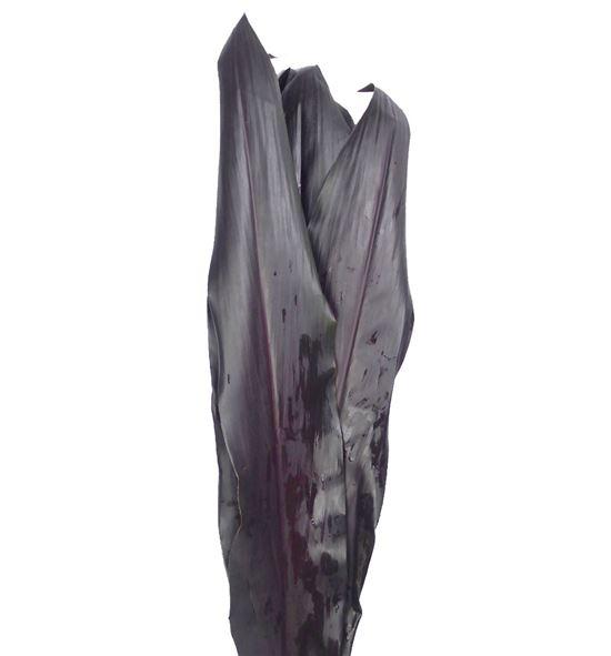 Cordelini negro - CORNEG