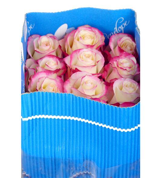 Rosa col sweetness 60 - RCSWE