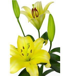 L.o. yelloween 1ª 2 flores - LOYEL