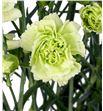 Clavel mini verde - CLAMVER1