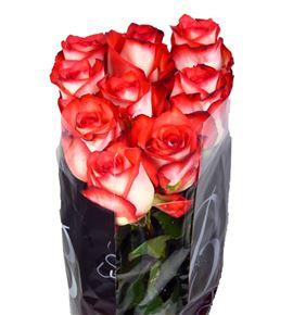 Rosa hol blush 70 - RGRBLUS