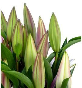 Lilium oriental hol paradero 100 - LOHPAR