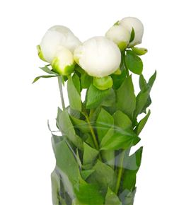 Paeonia duchesse nemo x5 40 - PAEDUCNEM