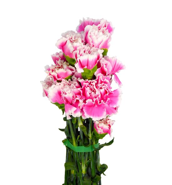 Clavel rosa/blanco - CLAROSBLA
