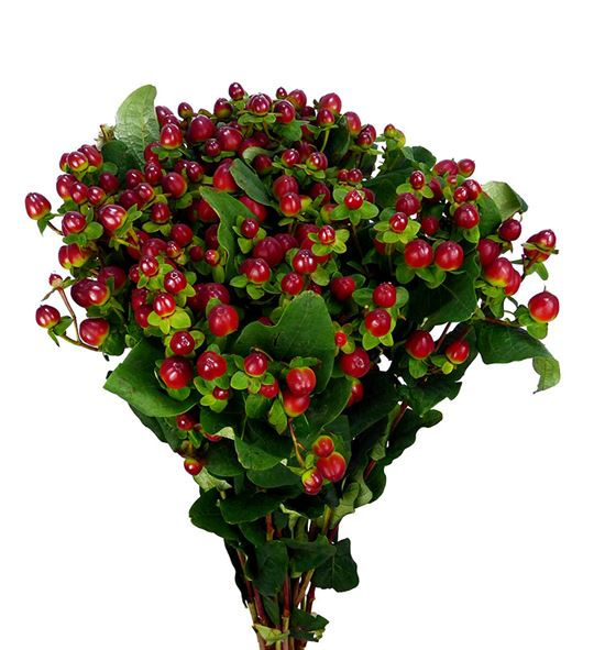 Hypericum magical seasons 70 - HYPMAGSEA