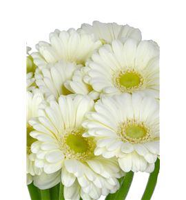 Gerb mini albino 50 - GERMALB