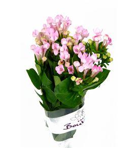 Bouvardia sweet roza 40 - BOUSWEROZ
