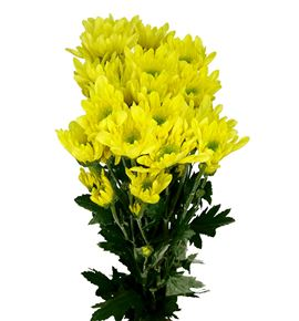 Marg col radost yellow - MCRADYEL