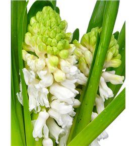 Jacinto white pearl 32 - HYAAIO