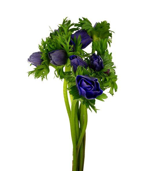 Anemona azul - ANEAZU