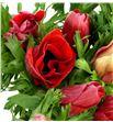 Anemona roja - ANEROJ1