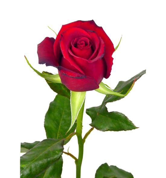Rosa rioja 40 - RSAM