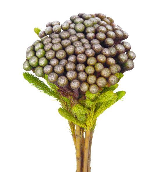 Brunia albiflora 50 - BRUALB