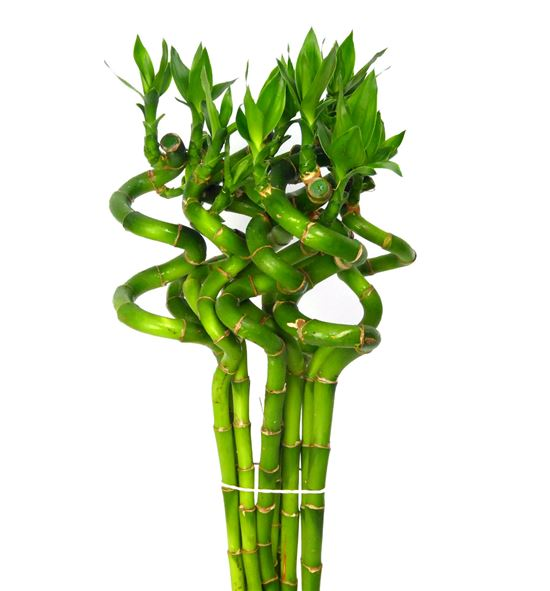 Drac bamboo spiraal 50 - DRABAMSPI
