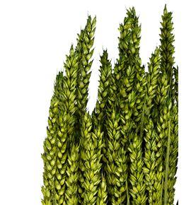 Trigo seco verde - TRISECVER