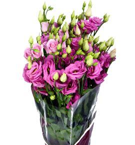 Lisianthus rosita rose 75 - LISROSROS