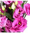 Lisianthus rosita rose 75 - LISROSROS1