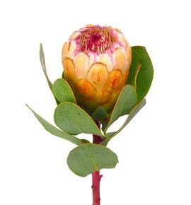 Protea grandicolor 60 - PROGRA