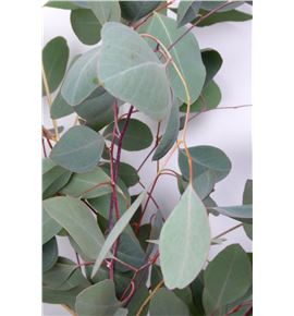 Eucaliptu populus 65 - EUCPOPSIN