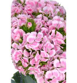 Barbatus rosa - BARROS