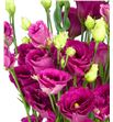 Lisianthus rosita red 75 - LISARORED1