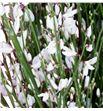Genista teñida blanca 65 - GENIBLA1